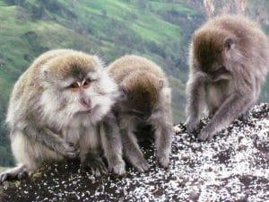 monyet Gunung Rinjani
