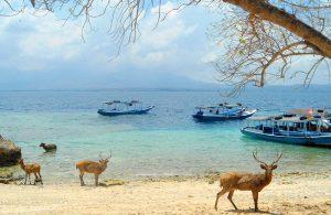 Menjangan yang menjadi ciri khas Pulau Menjangan