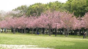 Taman Sakura, Taman Harmoni Keputih, Surabaya (hargatiket)