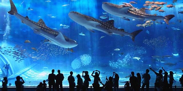 Okinawa Churaumi Aquarium - wisata Jepang