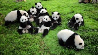 Giant Panda, Chengdu