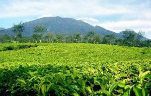 Perkebunan teh untuk Margawind