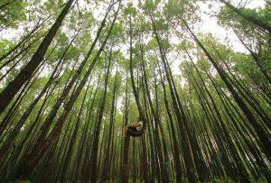 Hutan Pinus Kayon, Semarang (penky_soe)