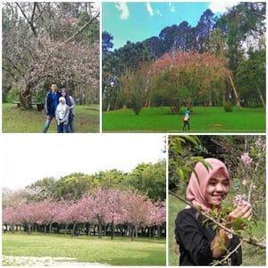 Sakura Kebun Raya Cibodas (idntimes, kabare, pojokcianjur)