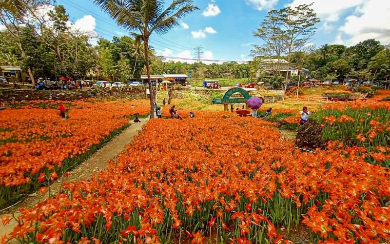 Wisata di Gunung Kidul - Kebun Bunga Amarilis (jogjapolitan)