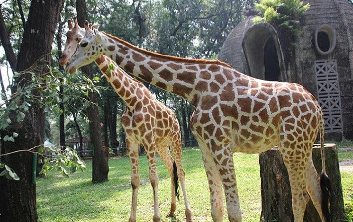 Tempat wisata di Jakarta yang murah - Kebun Binatang Ragunan (wowkeren)